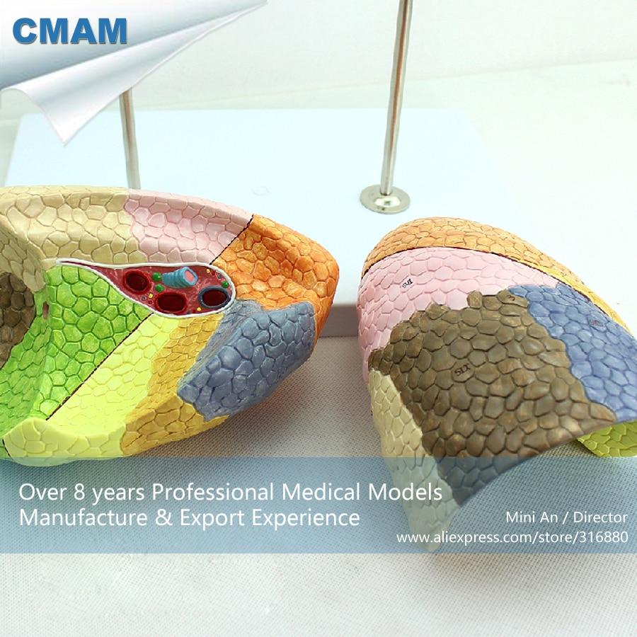 12500 CMAM LUNG03 Life Size Segmental Anatomy Human Lung Model for ...