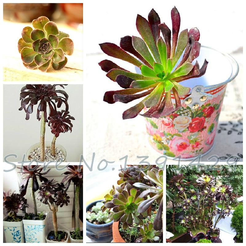 High germination rate CRASSULA 100pcs Succulent Plant home garden beautiful desk bonsai seeds Black Mage flower pots planters