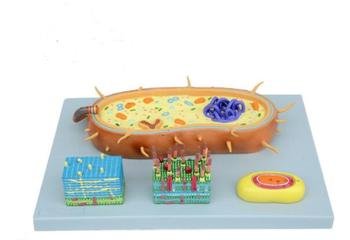 Bacterial model nuclear model chromosome model biological teaching model flagella model 55*38*15cm брюки chromosome chromosome ch036emapml0