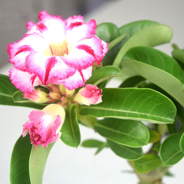 Desert Rose plants Flower plants Adenium Obesum Office Indoor Bonsai Plant Mini Potted Tree Home Garden 1 Particles / Lot