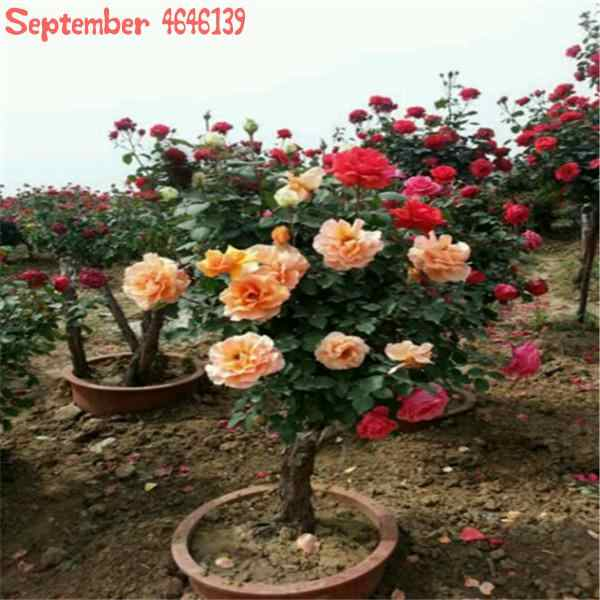 2019New 100 pz/pacco Freschi e Genuini Rare Rosa Chinensis Dendroidal ROSA Fiore Albero bonsai consegna gratuita facile da coltivare