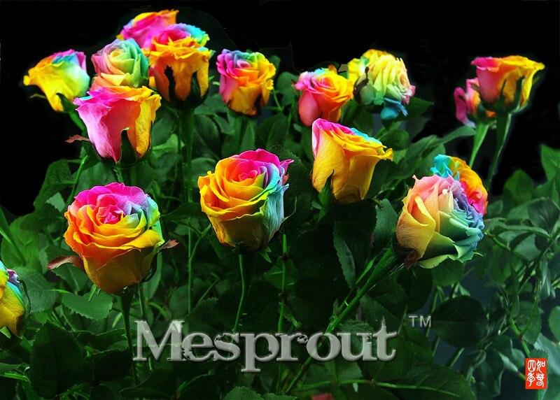 Hot Sale 100pcs/bag Rare Holland Rainbow Rose seed Flowers Lover Colorful Perennial Flower Garden Plants Bonsai