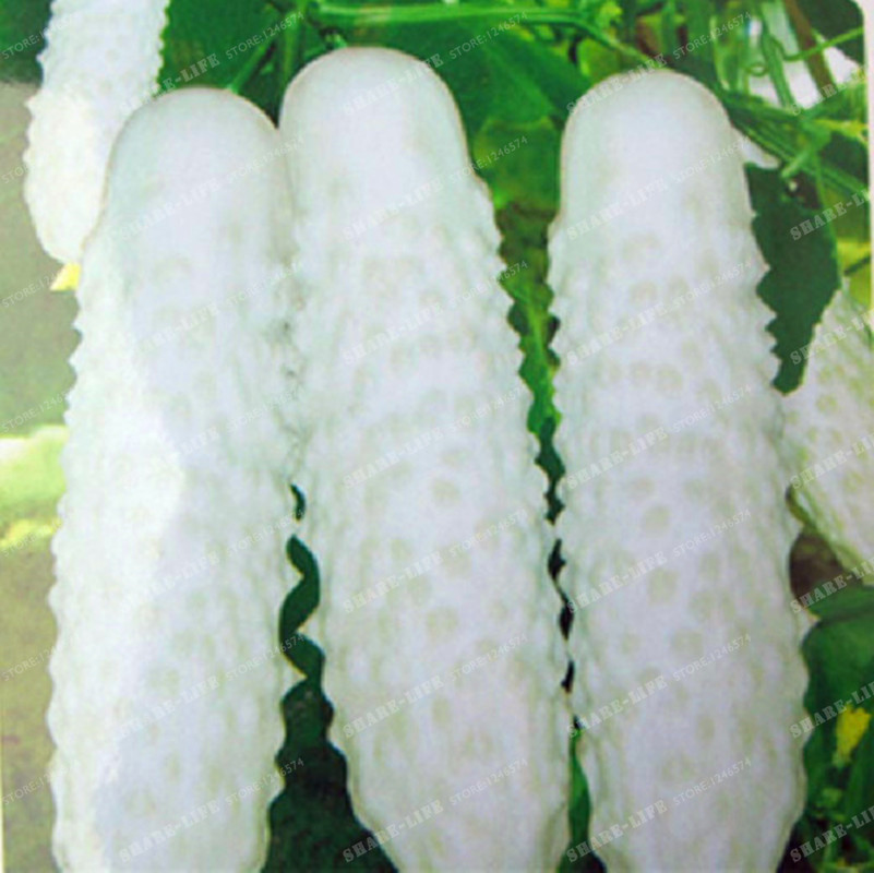 100pcs  White Cucumber