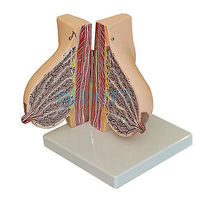 Human Feminine Lactation Anatomy of the Breast Model Anatomy Gynecology Teaching