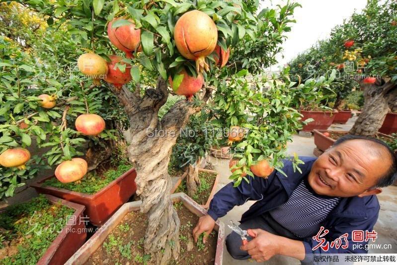 Aliexpresscom Buy 20 fruit tree pomegranate seeds home plant