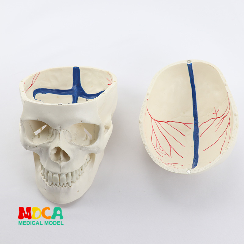 цена на 1:1 high end human .skull model for medical uses skull bone anatomical specimen bone nerve model MTG004