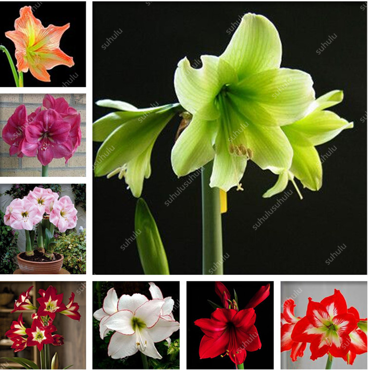 100 Pcs Amaryllis Bonsai Cheap Amaryllis Flower, The Barbados Lily Potted Plants, Bonsai Balcony Flower For Home Garden Planting