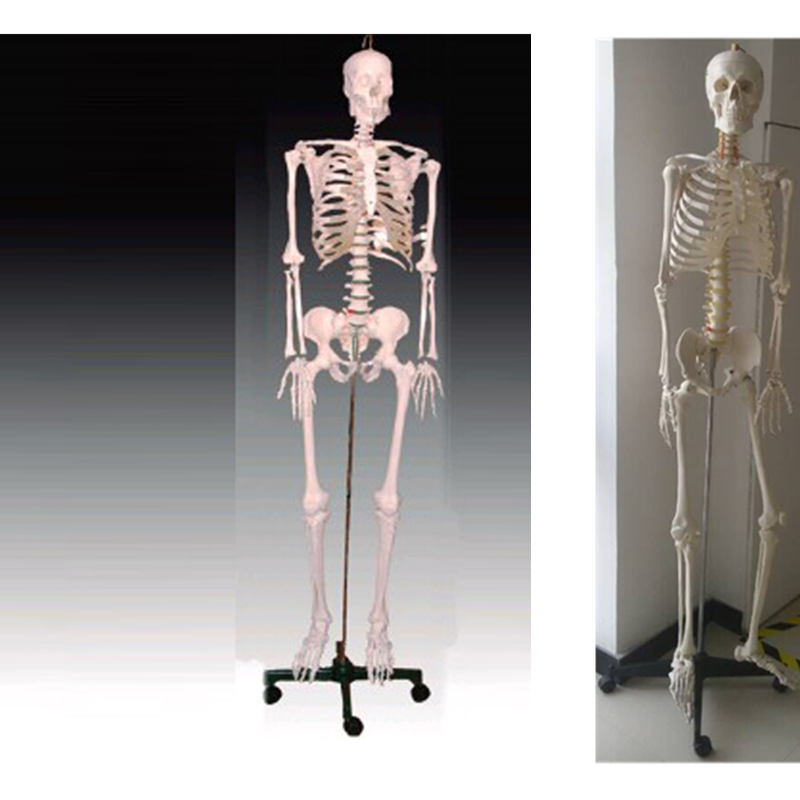 BIX-A1001 human skeleton model(180cm) bix a1005 human skeleton model with heart and vessels model 85cm wbw394