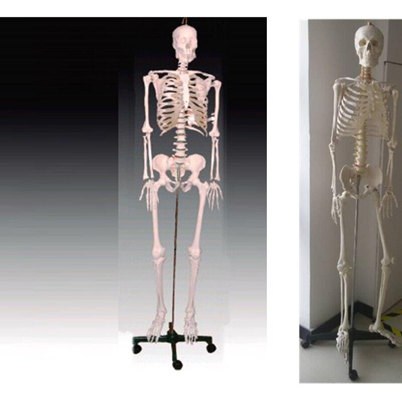 BIX-A1001 squelette humain modèle (180 cm)