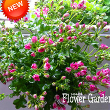 Loss Promotion!20 Pieces/Pack Deep Pink Univalve Geranium Seeds Perennial Flower Seeds Pelargonium Peltatum Seeds,#V8TSI1