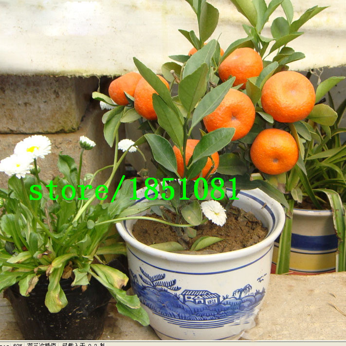 Balcony Patio Potted Fruit Trees Planted Seeds Kumquat Seeds Orange Seeds Tangerine Citrus Seeds 50 PCS Free shipping