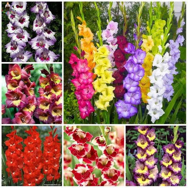 100pcs rare Gladiolus plants beautiful rainbow Gladiolus garden flowers high survival rate bonsai tree  garden decoration