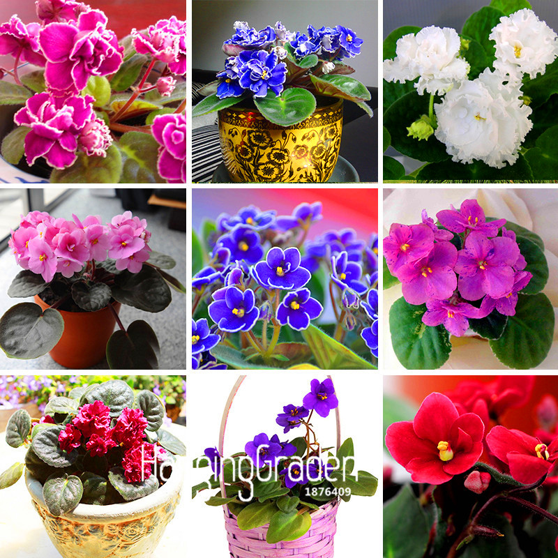Best-Selling!10 PCS/Bag Variety of Colors Violet Seeds Garden Plants Violet Flowers Perennial Herb Matthiola Incana Seed,#T69L54