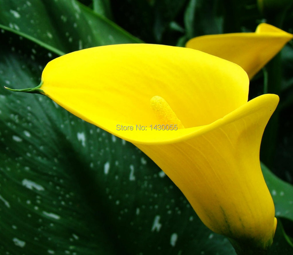 Free shipping flower seeds home casa a jardim bonsai tree seeds free shipping flower seeds home casa a jardim bonsai tree seeds yellow 100pcsbag calla lily seeds sementes de flores gift in bonsai from home garden on dhlflorist Images