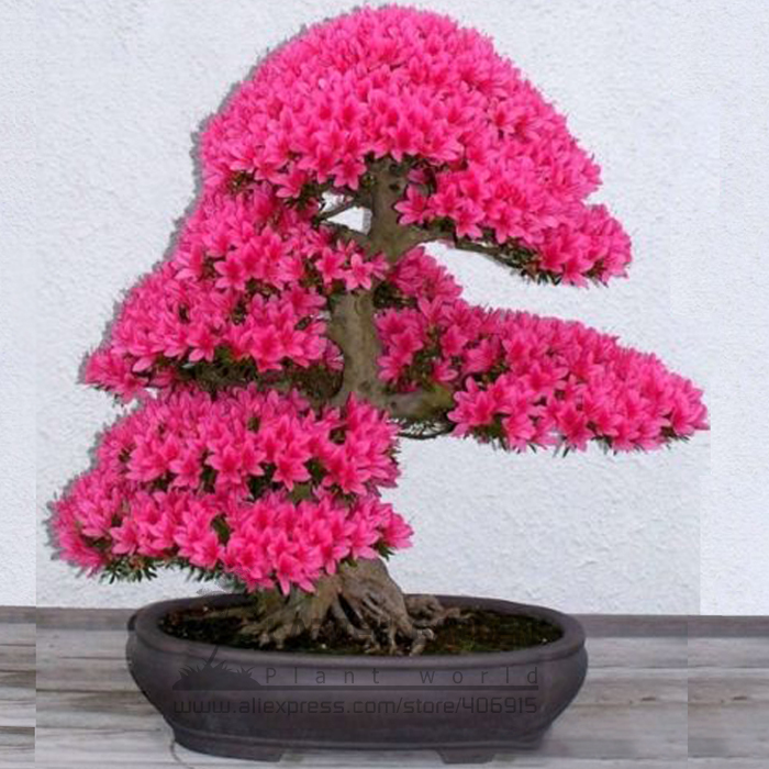 Compare Prices on Rhododendron Plant- Online Shopping/Buy Low ...