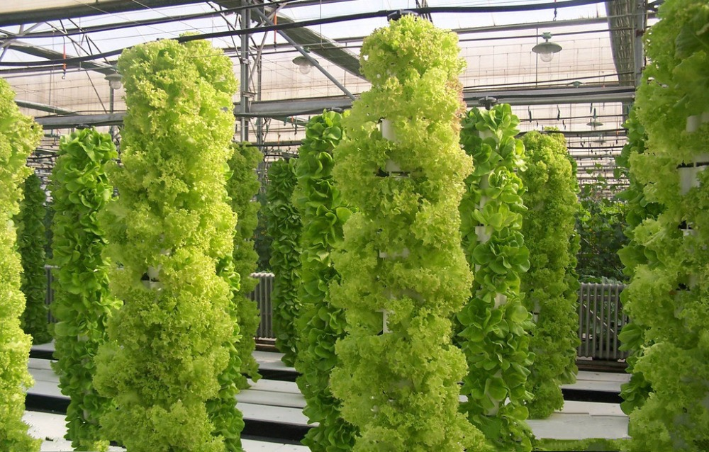 200 Italian Lettuce Seeds good taste , easy to grow, Q