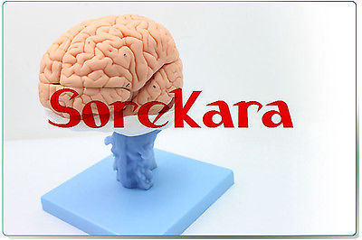 1:1 Human Anatomical Brain Professional New Medical Teaching Model School Hospital Hi-Q