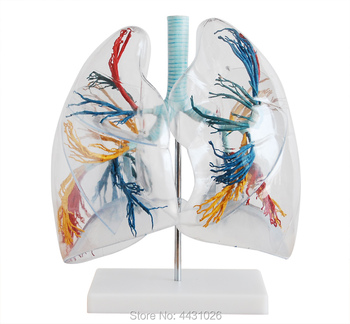 ENOVO Model of thoracic and thoracic surgery in the lung section of the medical human lung section