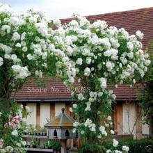Mix Climbing Rose Seeds, WHITE FLOWERS seeds , Perennials , fence, pillar, shed garden decoration flower  30pcs Z010