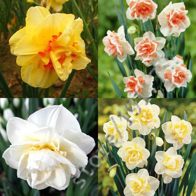 rare belle jonquille fleur balcon plantes graines de narcisse absorption rayonnement nouveau narcisse tazetta semences 100 pcspack - Fleur Jonquille
