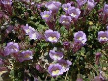30+seeds/pack ANTIRRHINUM LAVENDER BI-COLOR SNAPDRAGON FLOWER SEEDS / FRAGRANT