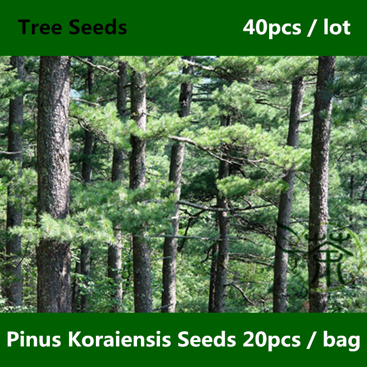^^Evergreen Tree Pi nus Koraiensis ^^^^ 40pcs, Famy Pinaceae Miluch Loved Korean Pine ^^^^, Ornamental Plant Hong Song Shu ^^^^