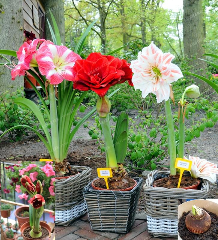 5 amaryllis bulbs red papilio hippeastrum bonsai barbados for Bulbes amaryllis conservation