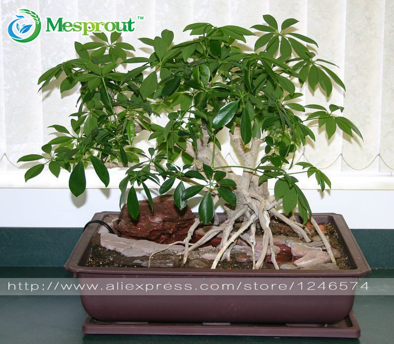 50PCS Schefflera Bonsai, Schefflera Actinophylla, Potted, Bonsai, Planting Is Simple, Budding Rate Of 95%,radiation Absorption