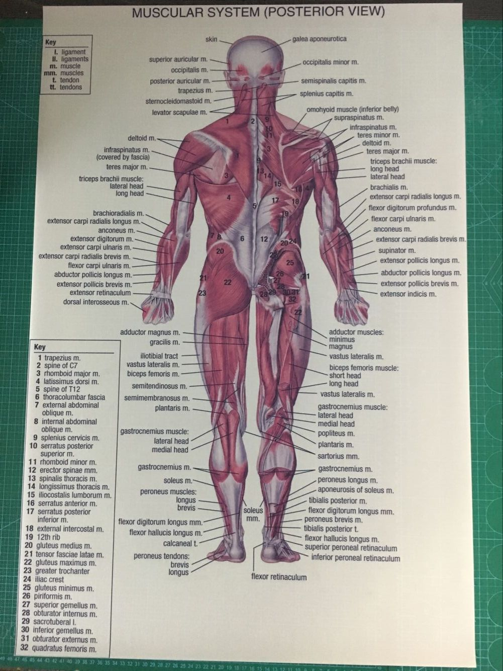 Human Anatomy Posterior Anterior View Anatomy Muscles System Art