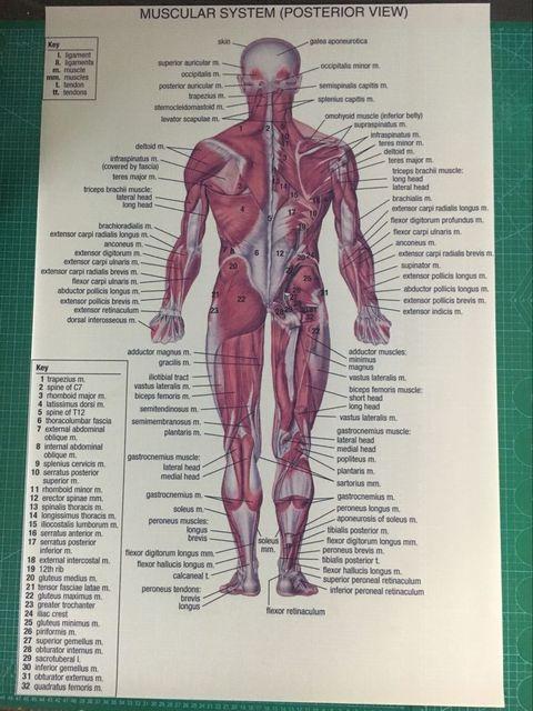Human Anatomy Posterior Anterior View Silk Fabric Print