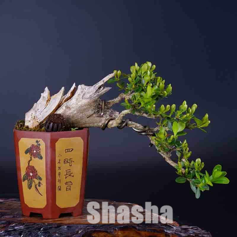 50 sztuk/worek Bonsai bukszpan dobre dla rodzin absorbują formaldehyd doniczkowe drzewo dekoracyjne ekologiczne rośliny do domowego ogrodu Bonsai