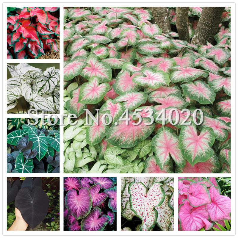 100Pcs Bonsai Caladium Plants,Burnt Rose Elephant Ear Beautiful Bonsai Tree Flower Flores Potted Plant Herb,the Budding Rate 97%