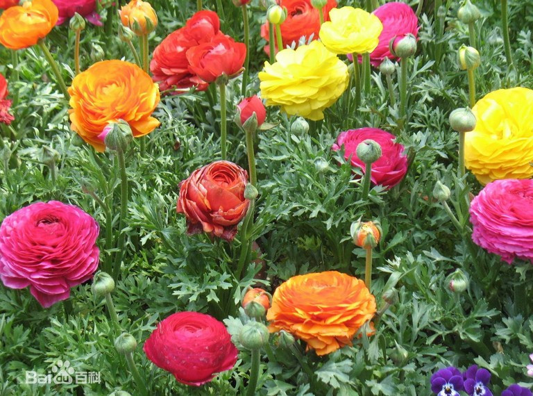 130/bag Ranunculus flowers seeds + SECRET GIFTS, pers P