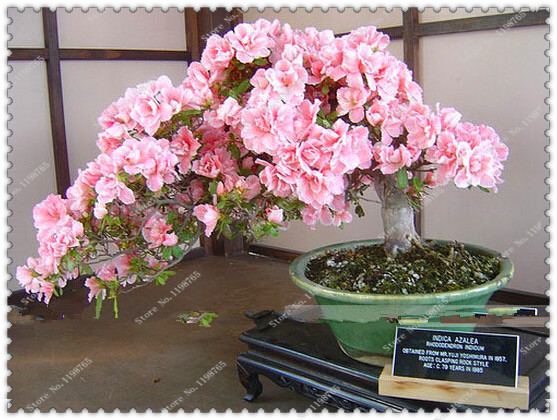 10 pieces/pack Pink Cherry Blossoms tree Seeds,bonsai X