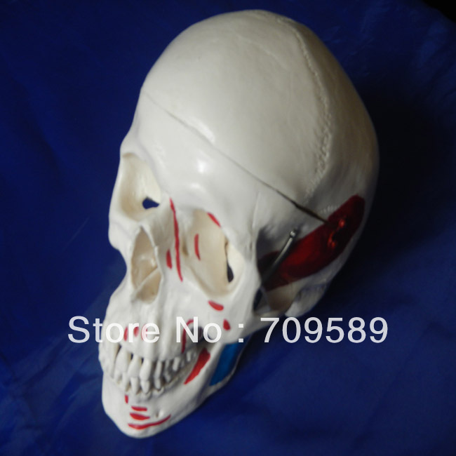HOT SALES advanced adult skull with colored muscles objective ielts advanced student s book with cd rom