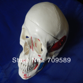 HOT SALES advanced adult skull with colored muscles