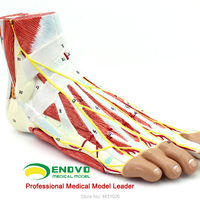 ENOVO The human body plantar level dissected the joint musculocutaneous nerve vascular ligament model hand and foot surgery