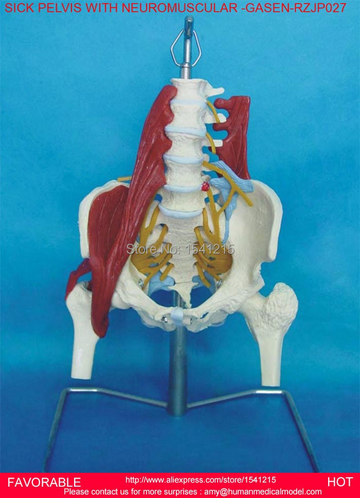 MEDICAL ANATOMICAL ADULT FEMALE/MALE PELVIS MODEL, ANATOMY MODELS, PELVIS WITH NEUROMUSCULAR AND MORBID -GASEN-RZJP027 12338 cmam pelvis01 anatomical human pelvis model with lumbar vertebrae femur medical science educational teaching models