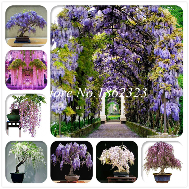 Garden Pots & Planters Hot Sale Outdoor Bonsai Wisteria Plant Rare Flower Diy Home Garden Ornamental Climb Rattan Flore Planting 2pcs Clear And Distinctive