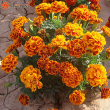 Red Yellow Maidenhair Seeds Flower Seeds Potted Herb Garden Marigold Chrysanthemum Bonsai Seeds 50 Particles / lot