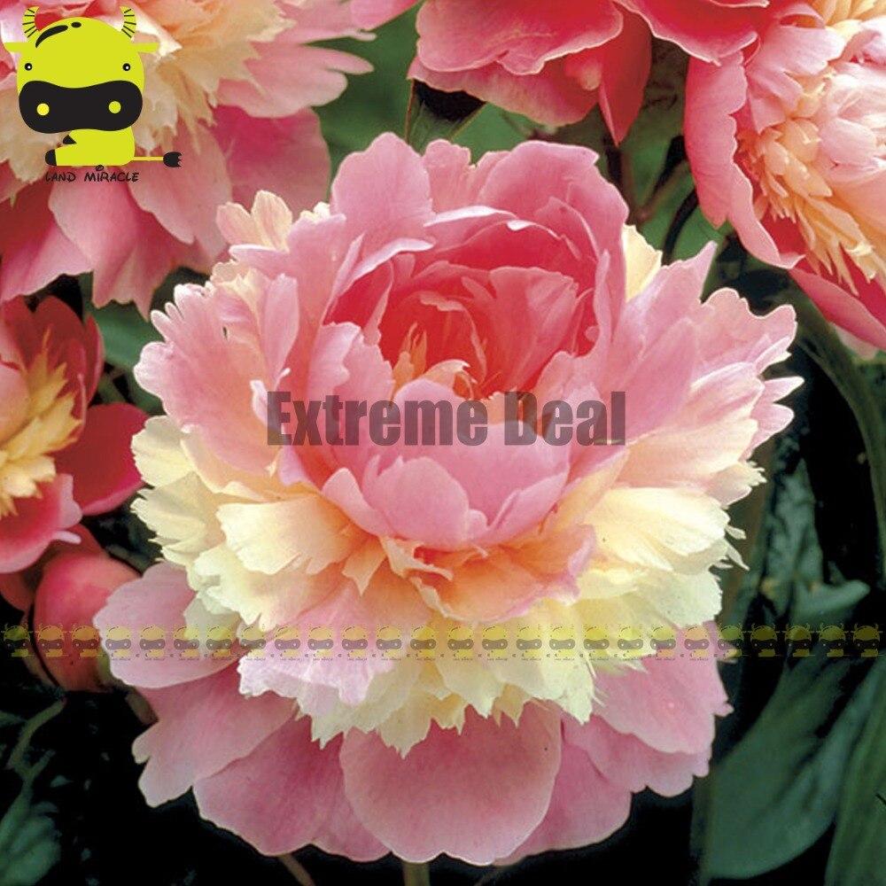Giant Blooms Sorbet Peony Seed 10 Seedpack Rare Heirloom Pink