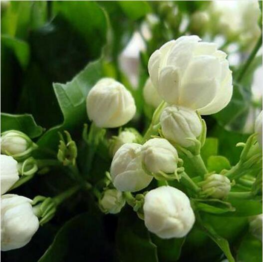 20/мешок, балконные горшки цветок жасмина завод легко посадить завод четыре сезона, комнатных растений многолетнее цветочных растений