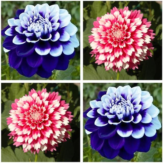 Vivaces fleurs jardin varient couleurs dahlias graines for Plants de fleurs vivaces