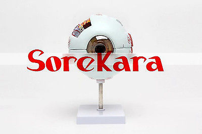 6:1 Human Anatomical Eyeball Dissection Medical Organ Teach Model School Hospital Hi-Q