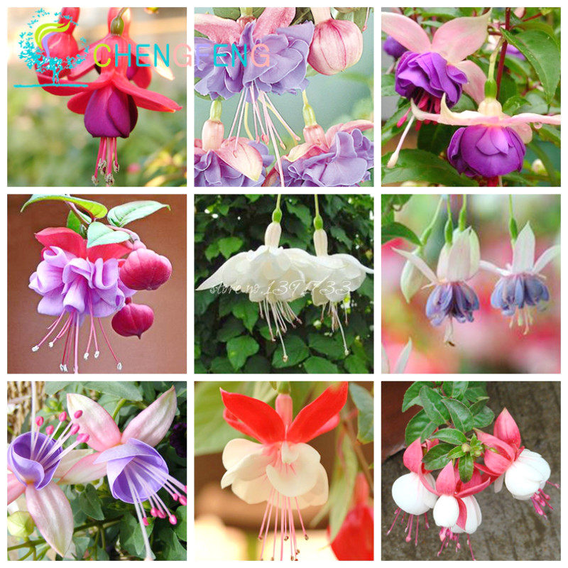aliexpress  buy free shipping pcs fuchsia hybrida hort, Beautiful flower