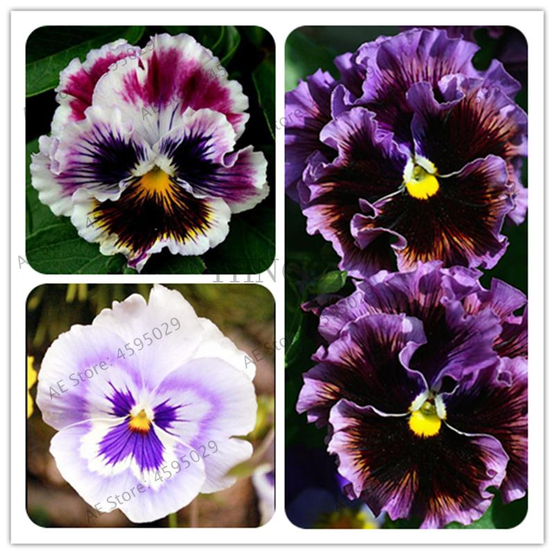 Сад завод смешанные Pansy карликовые деревья 200 шт. цветок красочные открытый и Крытый Цветущий многолетний Flore декор озеленение