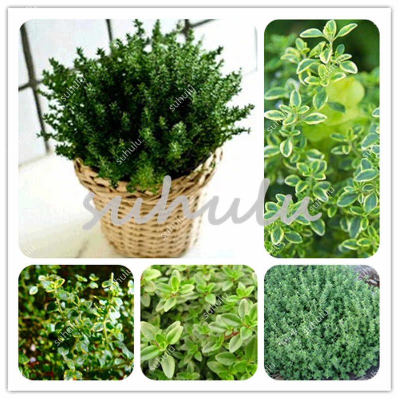 200 Pcs Green Lemon Thyme Grass Bonsai, Herb Garden Plant Vegetable Bonsais Thymus Citriodorus Mosquito Repelling Creeping Culin