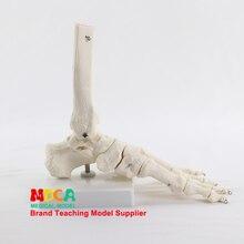 Модель голеностопного сустава, модель косточки для ног, медицинская обучающая модель человеческих костей MJG003