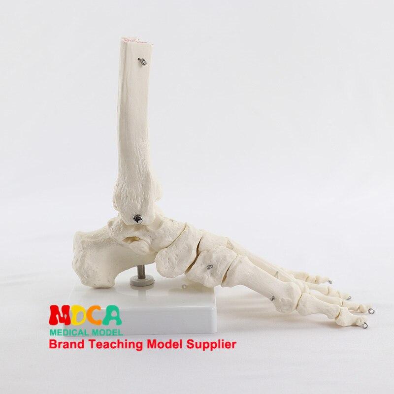 Foot Ankle Joint Model Foot Bone Model Medical Teaching Of Human Bones MJG003