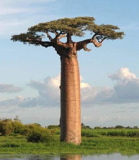 online kaufen gro handel baobab baum bonsai aus china. Black Bedroom Furniture Sets. Home Design Ideas